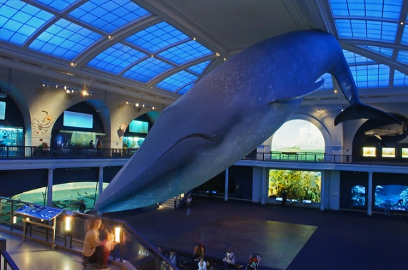 Blue Whale at AMNH